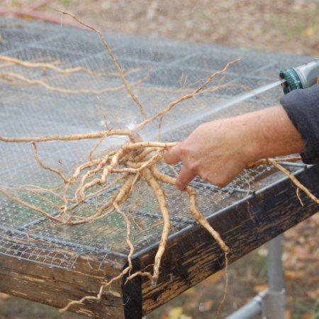 Washing Ashwagandha Root