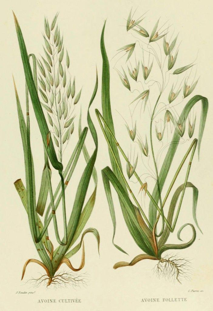 Illustration of oat plants